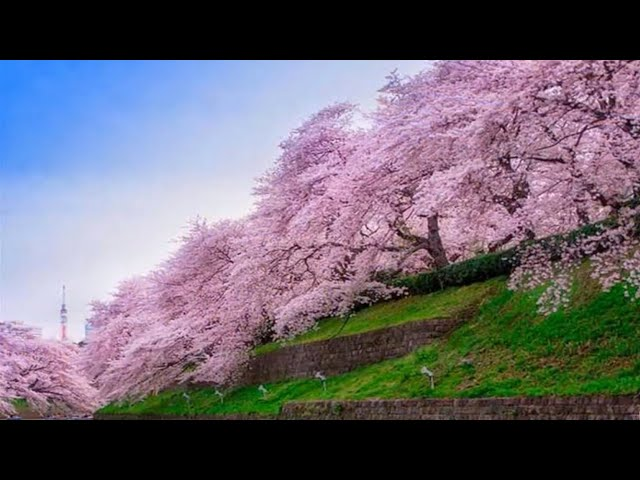 Hmong Sad Song  with the most beautiful flowers in the world 2020